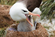 Black-browed albatross chick is being fed