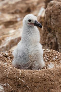 Black-browed albatross chick in nest