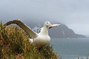 Wandering Albatross spreading wings - South Georgia Island