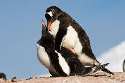 Pair of mating Gentoo penguins. Port Lockroy
