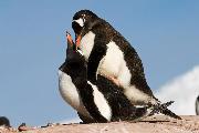 Pair of mating Gentoo penguins. Port Lockroy