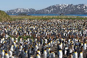 King penguin colony at Salisbury Plain.