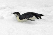 Immature Emperor penguin tobogganing on sea ice
