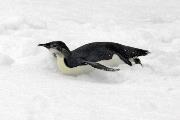 Immature Emperor penguin tobogganing on sea ice