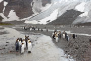 King Penguins at small glacier stream