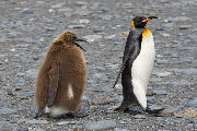 Teenage King Penguin chick begging for food