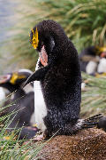 Preening Macaroni penguin (Eudyptes chrysolophus)