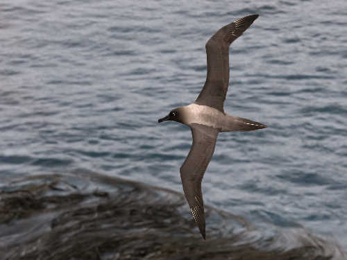 Light-mantled sooty albatross in flight over seaweed