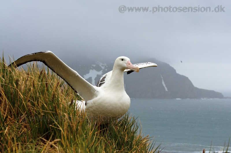 Wandering Albatross spreading wings - South Georgia Island