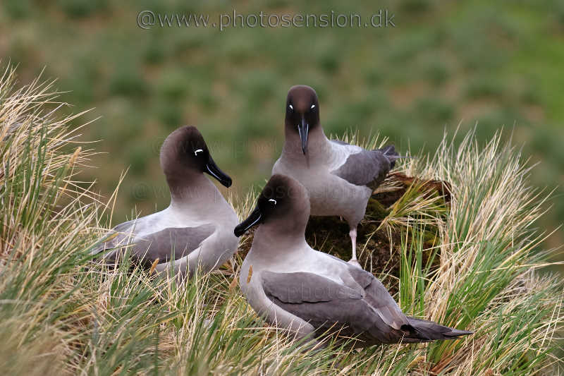 Light-mantled Sooty Albatross courtship