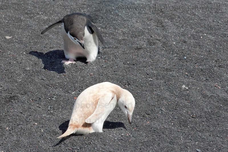 All-white (Leucistic) Chinstrap penguin