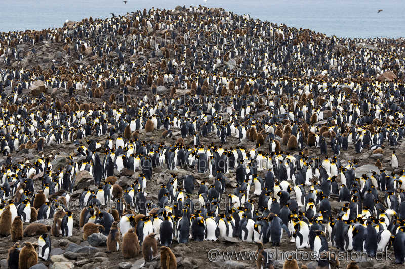 King penguin hill at St. Andrews Bay