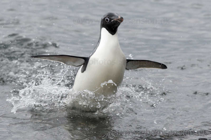 Almost airborne. Adelie penguin porpoising in shallow water.