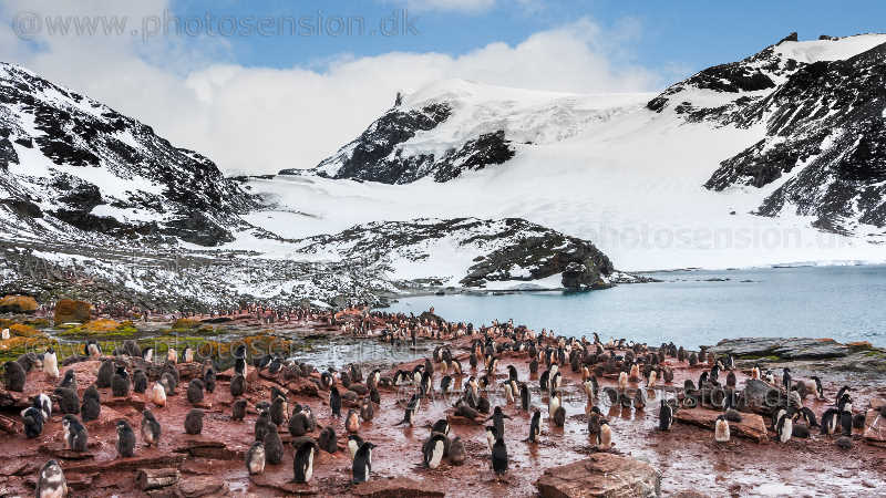 Adelie penguin colony at South Orkney Islands