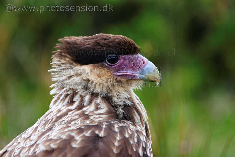 Southern Crested Caracara portrait