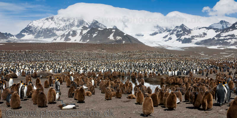 St. Andrews Bay - 250.000 King penguins