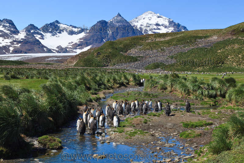 Moulting king penguins in a mountainous landscape