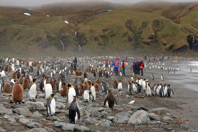 King Penguin and tourists at Gold Harbour