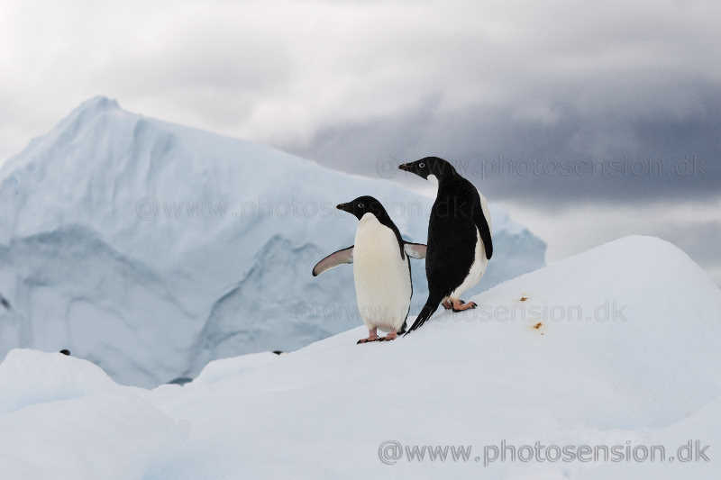 Adelie penguins on iceberg