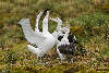 Wandering Albatross courtship display