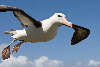 Flying Black-browed albatross close-up