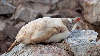 Leucistic Gentoo Penguin takes a nap