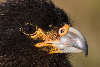 Johnny Rook (Striated Caracara) portrait