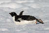 Adelie penguin tobogganing on snow